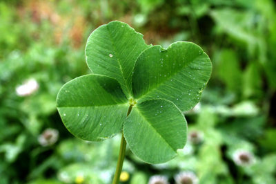 Keep the Luck o' the Irish With You Year Round: How to Preserve a Four Leaf Clover!