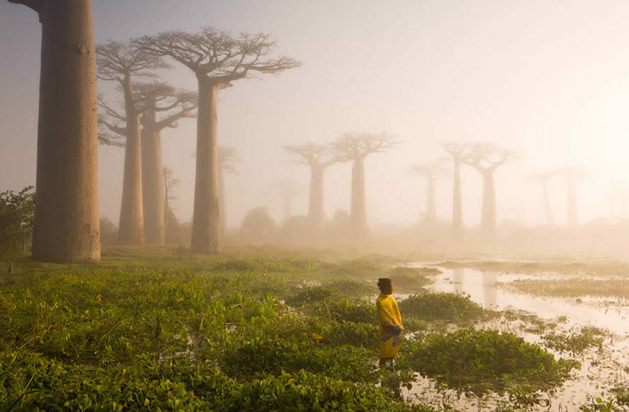 Baobab Trees of Madagascar (2/2)
