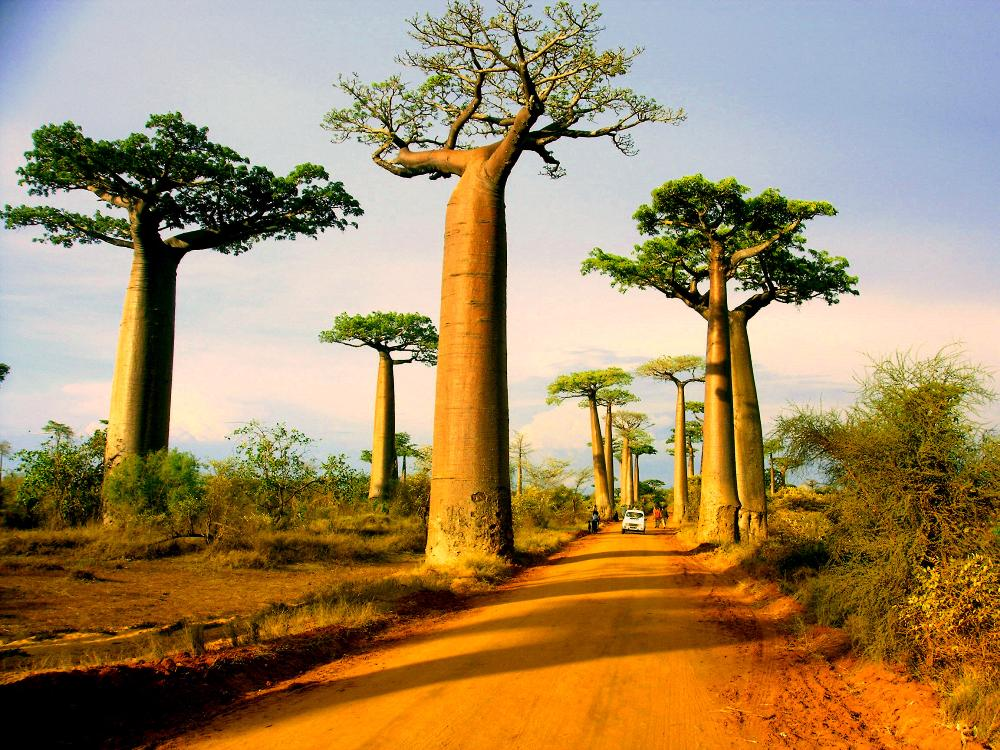Baobab Trees of Madagascar (1/2)